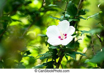 Close up of Hibiscus syriacus