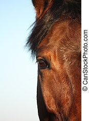 Close up of horse head  - Close up of brown horse head