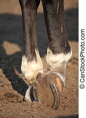 Close up of horse hoof with horseshoe - Close up of horse ...