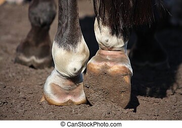 Close up of horse legs hoofs