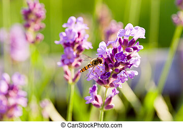 Close up of hoverfly feeding at lavender flowers. Shallow depth of field.