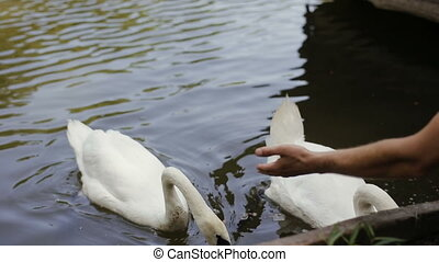 close-up of human hand feeding two white swan floating in a pond in a park