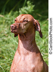 Close-up of Hungarian Vizsla sitting in field