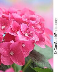 hydrangea - Close-up of hydrangea