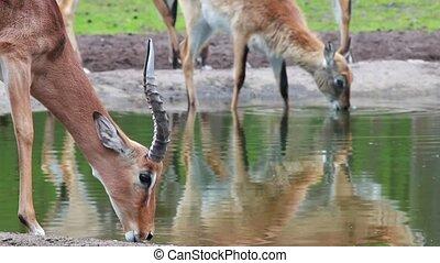 Close up of Impala drinking