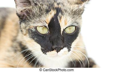 Close up Of Inbreeding Cat Portrait.