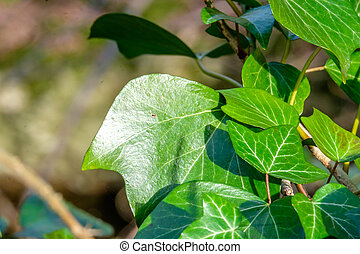 Close up of ivy leaves on a tree trunk in the woods