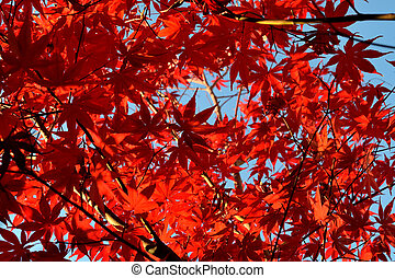Close up of Japanese palmate maple with its distinctive red leaves during the fall season.