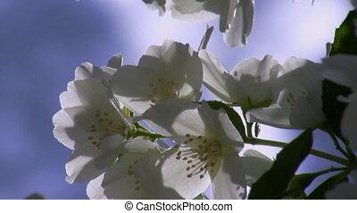 Close up of jasmine flowers