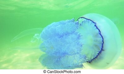 Close up of jellyfish swimming underwater. Free floating...