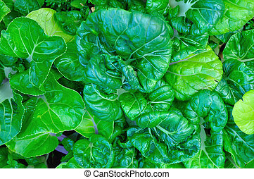 Close up of kale vegetable