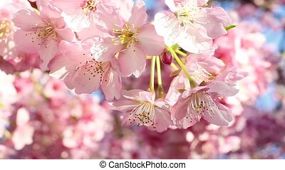 kawazu cherry - close-up of kawazu cherry