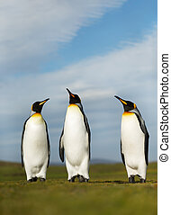 Close up of King penguins on a sunny summer day