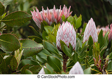 king protea flowerheads - close up of king protea...