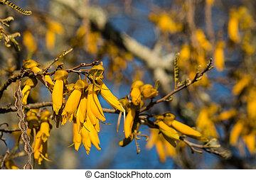 kowhai tree in bloom
