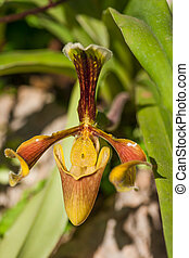 Close up of lady's slipper orchid
