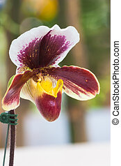 Close up of lady's slipper orchid (Paphiopedilum Callosum).