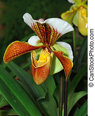 Paphiopedilum - Close up of lady's slipper orchid (...