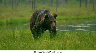 Close-up of large adult brown bear walking free in the...
