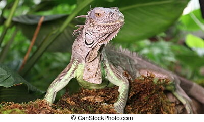 Close up of large Green Iguana - Green Iguana male resting...