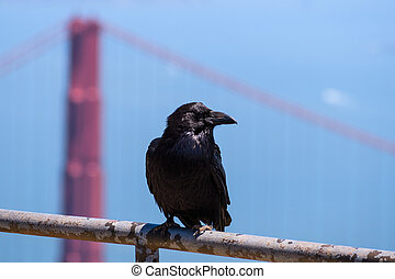 Close up of large raven perched on a metal fence, one of the Golden Gate Bridge's pylons visible in the background, California