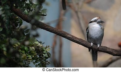 Close-up of Laughing kookaburra bir - Kookaburras -genus...