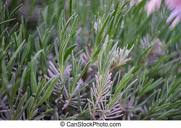 Close up of Lavandula plant in a garden