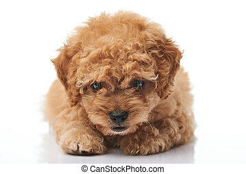 Close-up of laying poodle puppy
