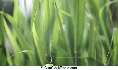 Close up of leaves of immature corn. Immature corn plant...