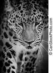 Close up of leopard