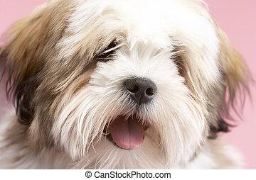 Close Up Of Lhasa Apso Dog