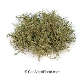 Close-up of Lichen (Usnea) on a white background.