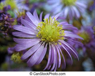 Close up of lilac aster perennial (Aster perennius). Macro