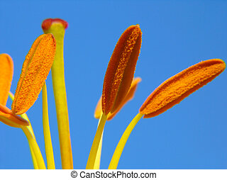 Lily stamens on blue sky background