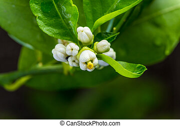 close up of lime white flower's buds surrounded by green leaves