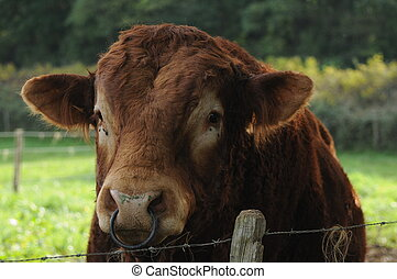 This is a very muscular and strong Limousin bull spotted in burgundy, France. I definitely would not like to stand in front of him without any barrier...