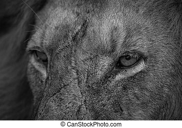 Close up of Lion eyes in black and white in the Kruger.