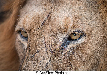 Close up of Lion eyes in the Kruger.