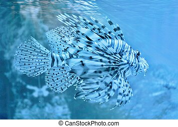 Lion fish - Close up of Lion fish in Aquarium