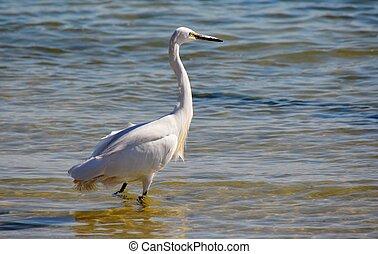 little egret - Close up of little egret inthe water