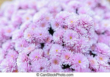 Close up of little pink flowers gathered in bunches in blurred background