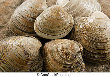 Close up view of fresh littleneck clams on a natural rock background with shallow depth of field show tasty food that is also a dangerous allergen