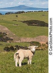 lost lamb looking back - close up of lost lamb looking back...