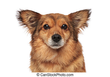 close up of lovely brown furry dog with funny ears