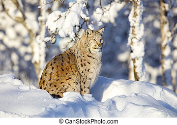 Close-up of lynx cat resting in the winter sun