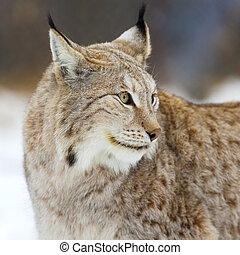 Close up of lynx in the forest