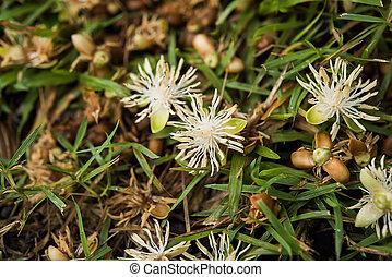 Close up of Macarthurs Palm flower. (Ptychosperma macarthurii Nichols.)
