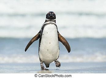 Close up of Magellanic penguin coming ashore