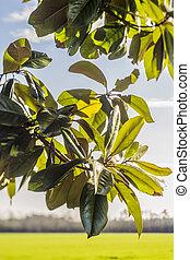 Close up of Magnolia tree leaves