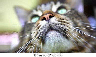 Close up of Maine Coon black tabby cat with green eye.